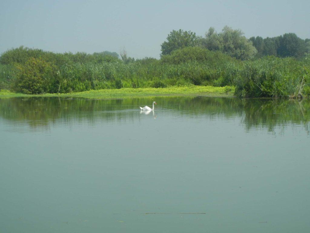 Cigno sul Lago Superiore di Mantova