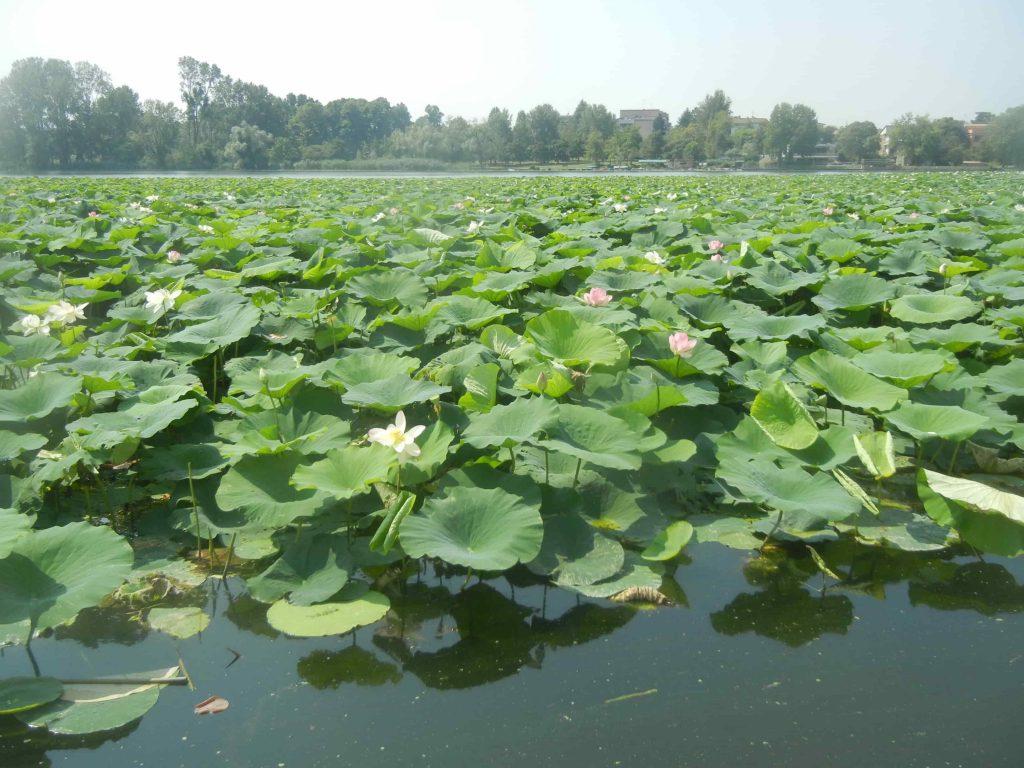 Distesa di fiori di loto sul Lago Superiore