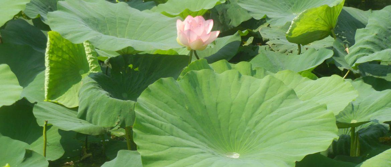 Fior di loto nei laghi di Mantova