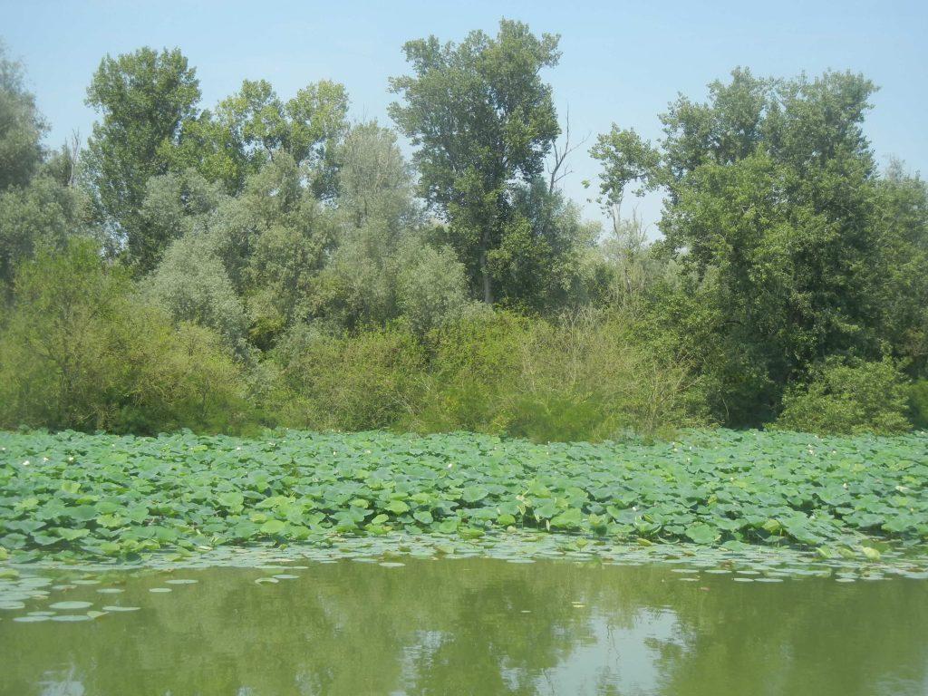 Fiori di loto nel Lago Inferiore