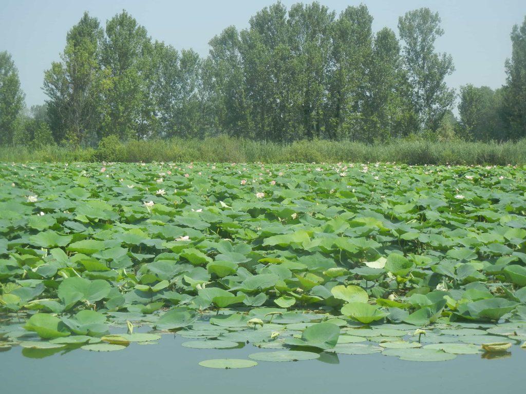 Fioritura dei fiori di loto nei laghi di Mantova