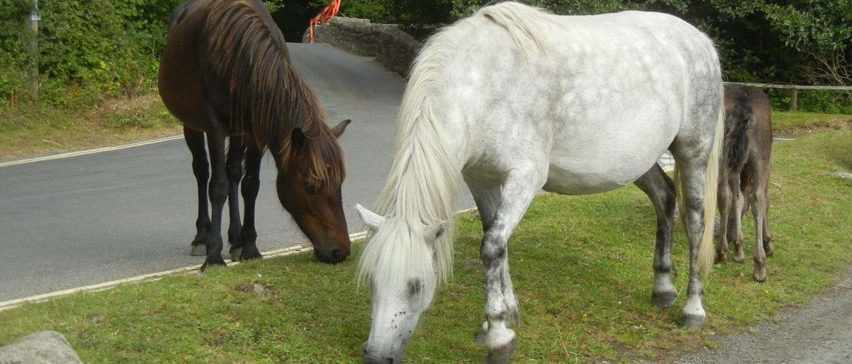 I cavalli del Dartmoor nel Devon