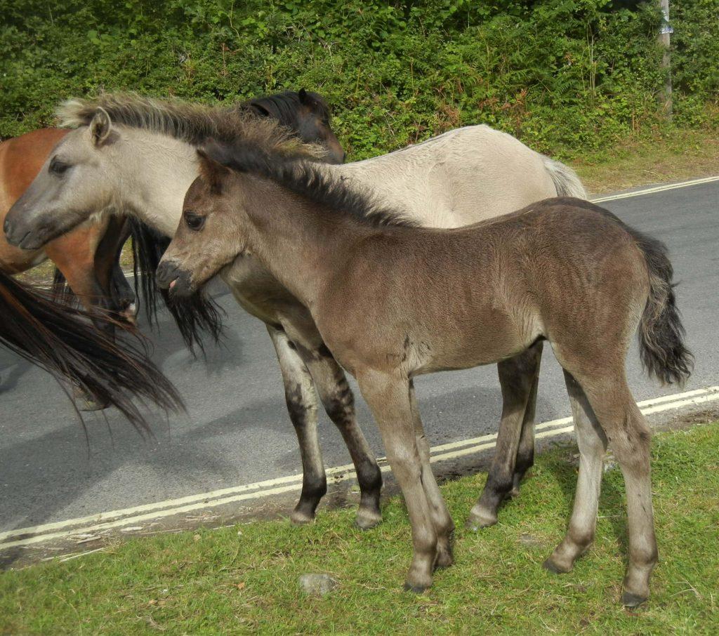 Il Pony del Dartmoor nel Devon